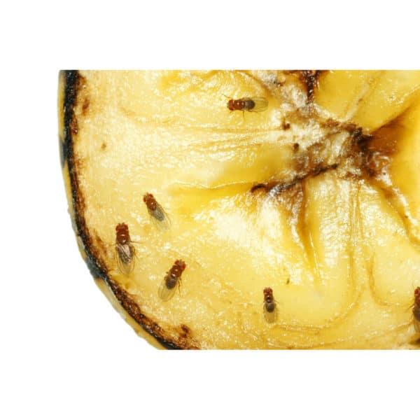 Green Protect Fruitvliegjesval - fruitvliegjes
