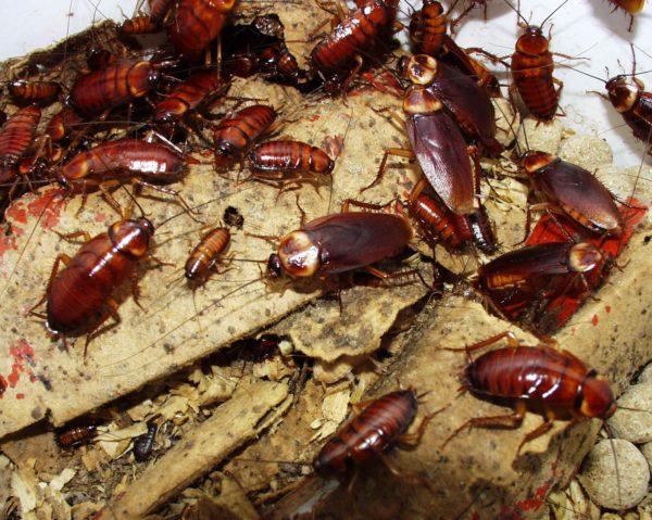 kakkerlakken bestrijding