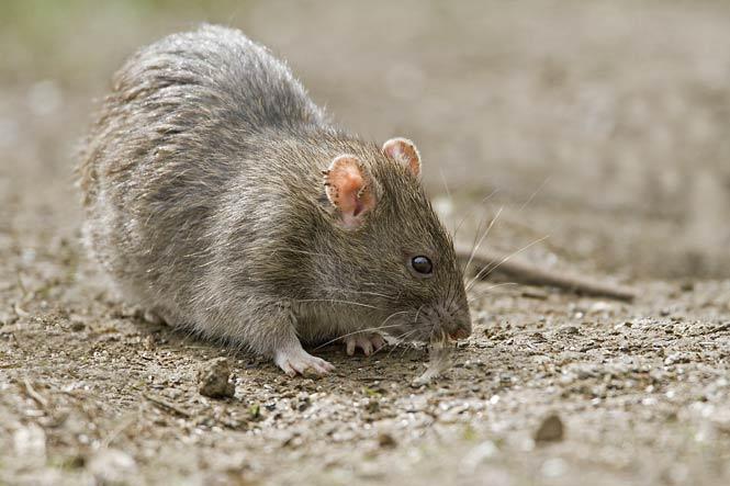 bruine rat in de tuin-budget ongedierte bestrijden