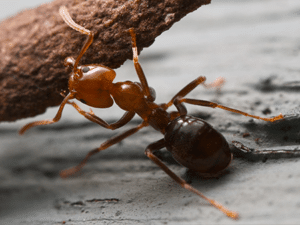 budget-ongedierte-bestrijden-mieren