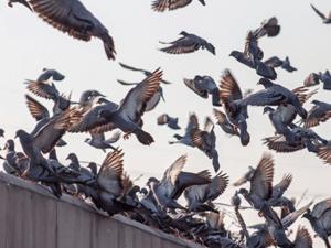budget-ongedierte-bestrijden-vogels