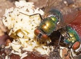 Wat te doen tegen overlast van aasvliegen