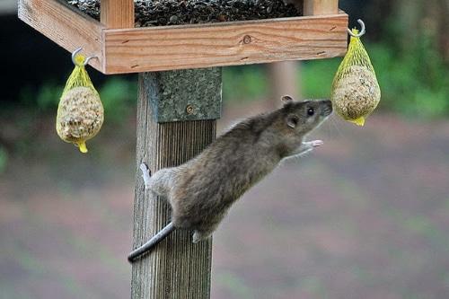 rat-eet-vogelvoer
