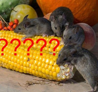 15-Fabeltjes over ratten en muizen