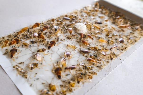 kakkerlakval-kakkerlakkenval-pestinext